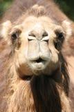 骆驼纵向凝视 免版税图库摄影