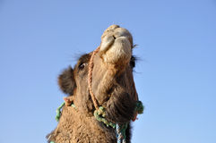 骆驼纵向撒哈拉大沙漠 免版税库存图片