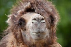 骆驼纵向 库存图片