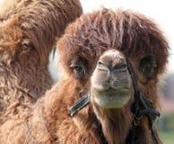 骆驼纵向 免版税图库摄影