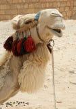 骆驼纵向 免版税库存照片