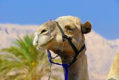 骆驼纵向s 免版税库存图片