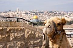 骆驼耶路撒冷 免版税图库摄影