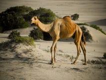 骆驼肯尼亚人 免版税库存照片