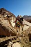 骆驼艰苦跋涉 库存照片