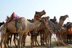 骆驼节日比卡内尔2017年 免版税图库摄影