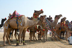 骆驼节日比卡内尔2017年 库存图片