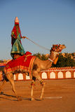 骆驼节日 库存照片