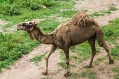 骆驼走 免版税库存照片