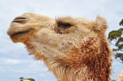 骆驼配置文件 库存图片