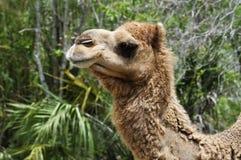 骆驼配置文件 免版税库存照片