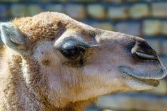 骆驼面孔特写镜头  库存照片
