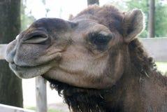 骆驼面孔特写镜头 免版税库存照片