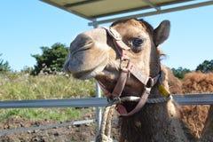 骆驼面孔 图库摄影