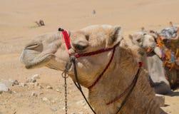 骆驼面孔 库存图片