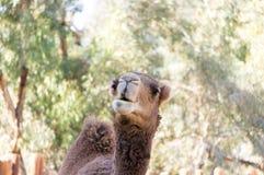 骆驼面孔 免版税库存图片