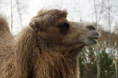 骆驼顶头接近的upwith树在背景中 免版税库存图片