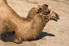 骆驼顶头纵向 库存图片