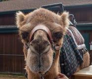 骆驼顶头射击 免版税库存照片