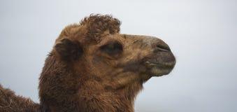 骆驼顶头异常危险和困难 库存图片