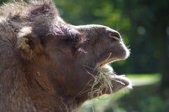 骆驼顶头特写镜头 库存图片