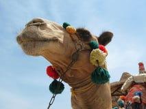 骆驼顶头装饰得更美丽 库存图片
