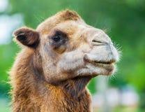 骆驼顶头画象 图库摄影
