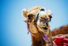 骆驼题头 免版税库存图片