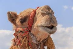 骆驼题头 免版税库存照片