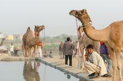 骆驼饮用水在普斯赫卡尔骆驼市场,拉贾斯坦,印度的清早活动 库存图片