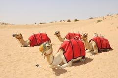 骆驼骆驼迪拜徒步旅行队开会 免版税库存图片