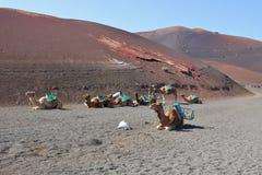 骆驼骑马在Timanfaya国家公园,兰萨罗特岛 库存照片