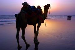 骆驼黄昏海滨 免版税库存照片
