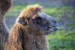 骆驼,画象 库存图片