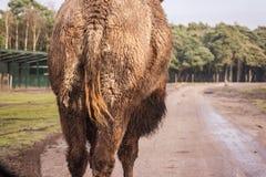 骆驼从后面 免版税库存照片