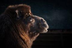 骆驼头的特写镜头 免版税库存照片