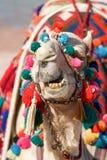 骆驼滑稽的面孔-显示牙 免版税库存图片