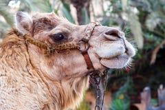 骆驼画象 免版税库存图片