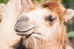 骆驼画象 库存照片