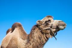 骆驼画象 库存图片