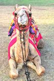 骆驼画象 免版税图库摄影