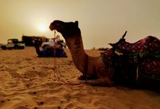 骆驼 免版税库存图片