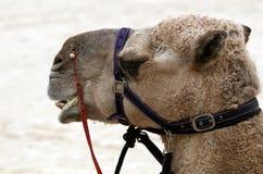 骆驼头 库存照片