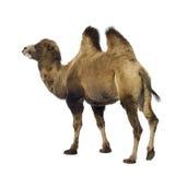 骆驼 图库摄影