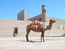 骆驼khiva乌兹别克斯坦 免版税库存图片