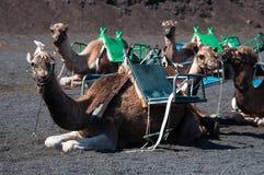 骆驼lanzarote 免版税库存图片