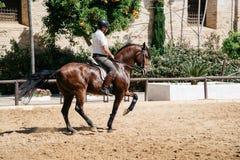 骑在历史的皇家St的马车手一匹棕色安达卢西亚的马 图库摄影