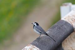 骑墙观望沿路的灰色令科之鸟 免版税库存图片