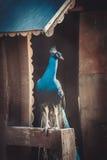 骑墙观望的孔雀 库存照片