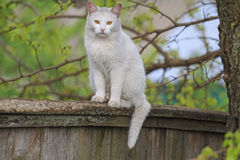 骑墙观望的白色猫 库存图片